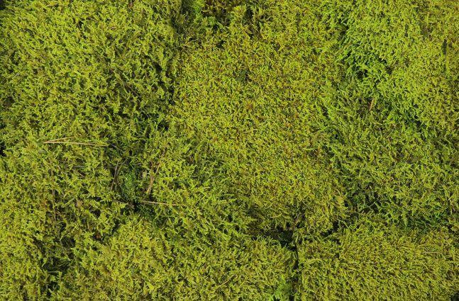 Musgo de Rena (Em Placas) Verde Fresco 3Kg
