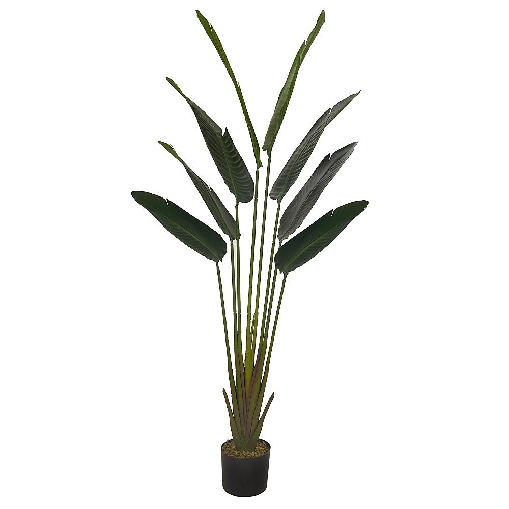 Palmeira Viajante Verde Permanente c/Pote 1,6m