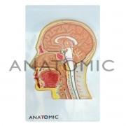 Cabeça em Corte Mediano Tzj301 Anatomic