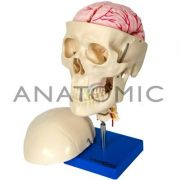 Crânio Com Coluna Cervical e Cérebro TGD103F Anatomic