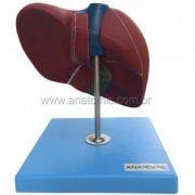 Fígado Básico TZJ324-A Anatomic