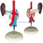 Pâncreas E Duodeno Tgd- 325e Anatomic