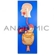 Sistema Digestório TZJ-328A Anatomic