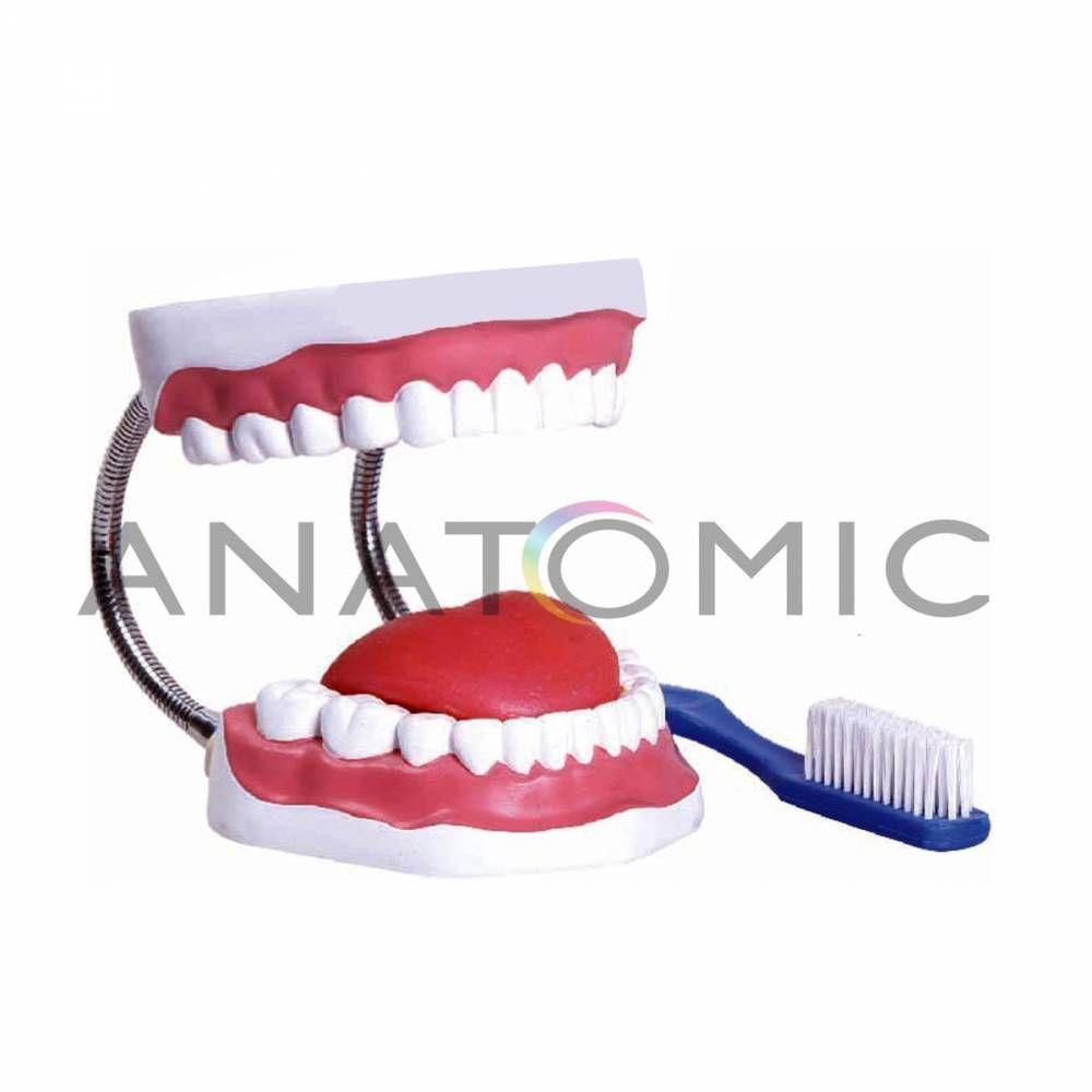 Arcada dentária Com Língua e Escova Para Demonstração De Higiene Bucal TZJ-0312B - Anatomic