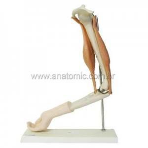 Braço Com Músculos TGD0330A Anatomic