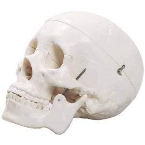 Cranio C/ 3 partes TGD0102