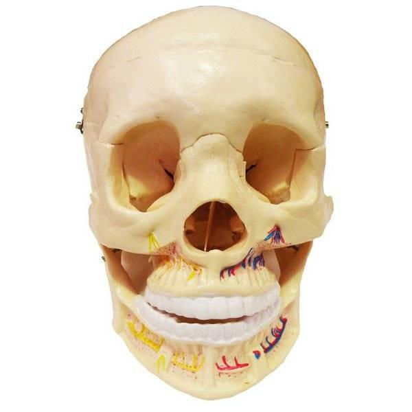 Crânio Clássico Com Mandíbula Aberta TGD0102B Anatomic