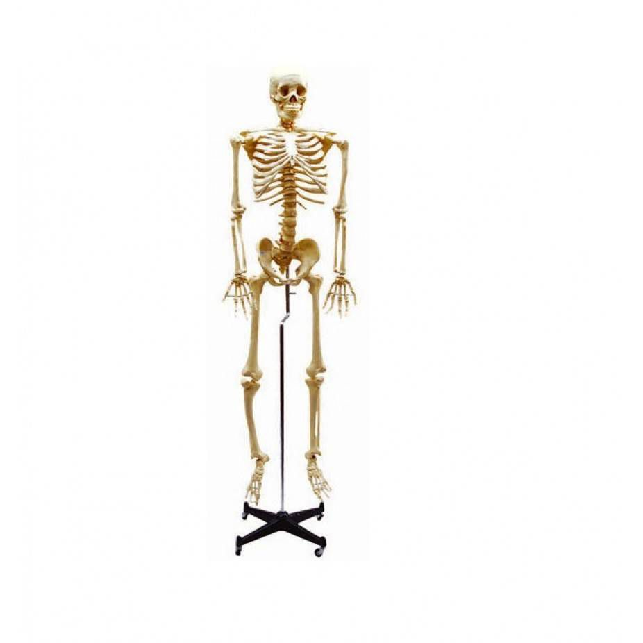 Esqueleto 168Cm Padrão Com Rodas TGD0101 Anatomic
