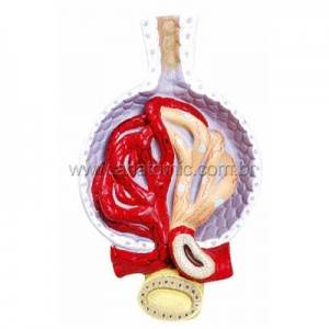 Rim Glomérulos TZJ-0327-D - Anatomic