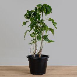 Acalypha Green PT 25