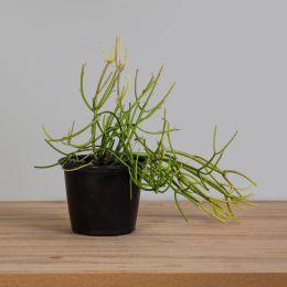 Euphorbia - Aveloz PT 15
