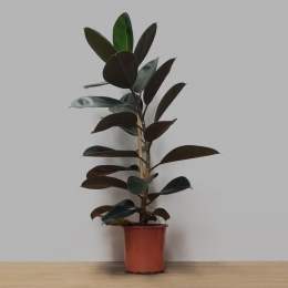 Ficus Elástica Burgundy PT 24