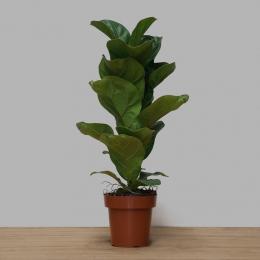 Ficus Lyrata Bambino PT 14