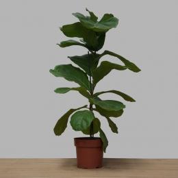 Ficus Lyrata PT 17