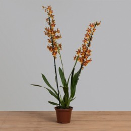 Orquídea Catatante PT 15