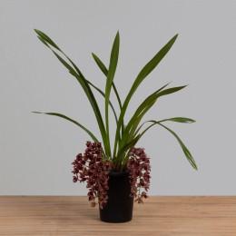 Orquídea Cymbidium Chocolate PT18