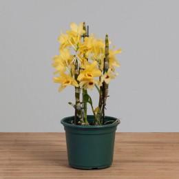 Orquídea Dendrobium PT15