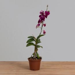 Orquídea Denphales 01 Haste PT 15