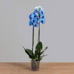 Orquídea Phalaenopsis c/ 02 Hastes PT12