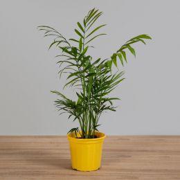Palmeira Chamaedorea Elegans PT 11