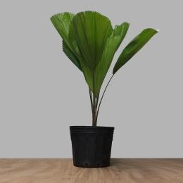 Palmeira Licuala (Leque) PT 20