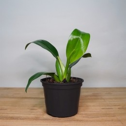 Philodendron Pacova PT 15