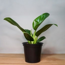 Philodendron Pacova PT 24