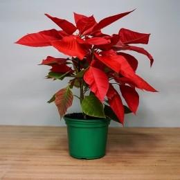 Poinsettia P (Flor de Natal - Bico de Papagaio)