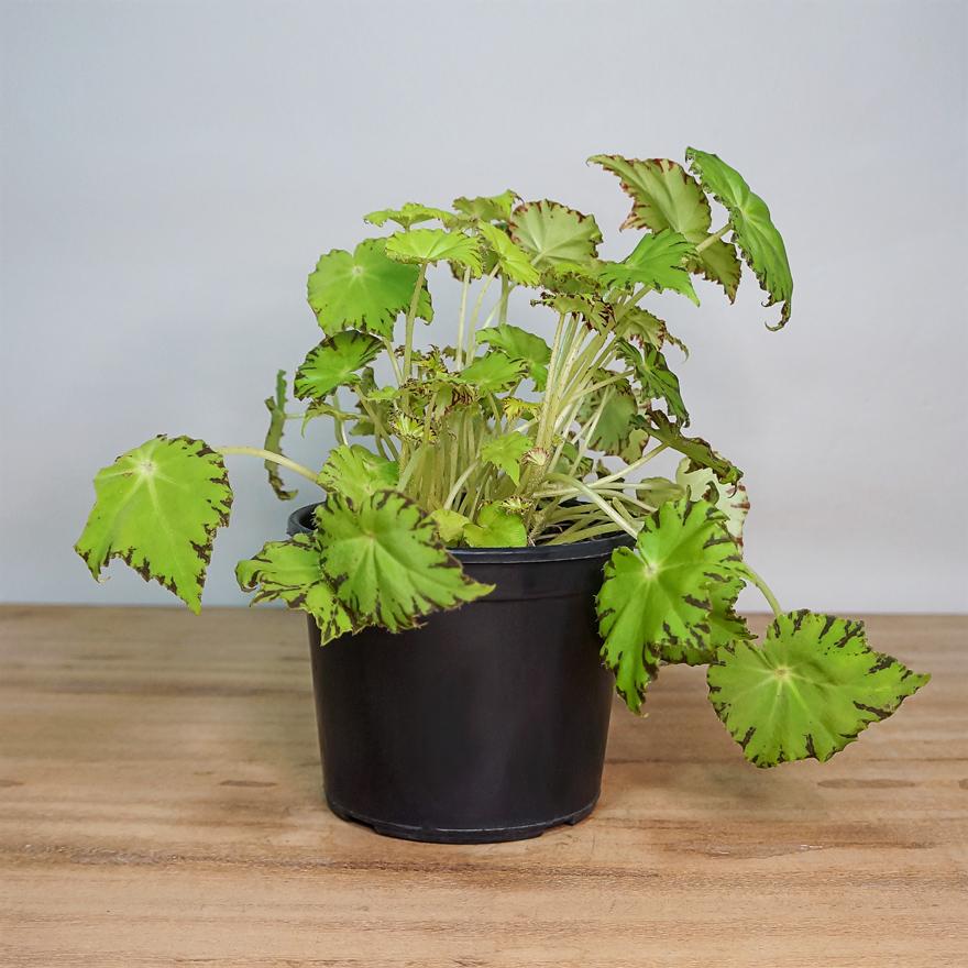 Begonia Beleaf Variadas PT 15