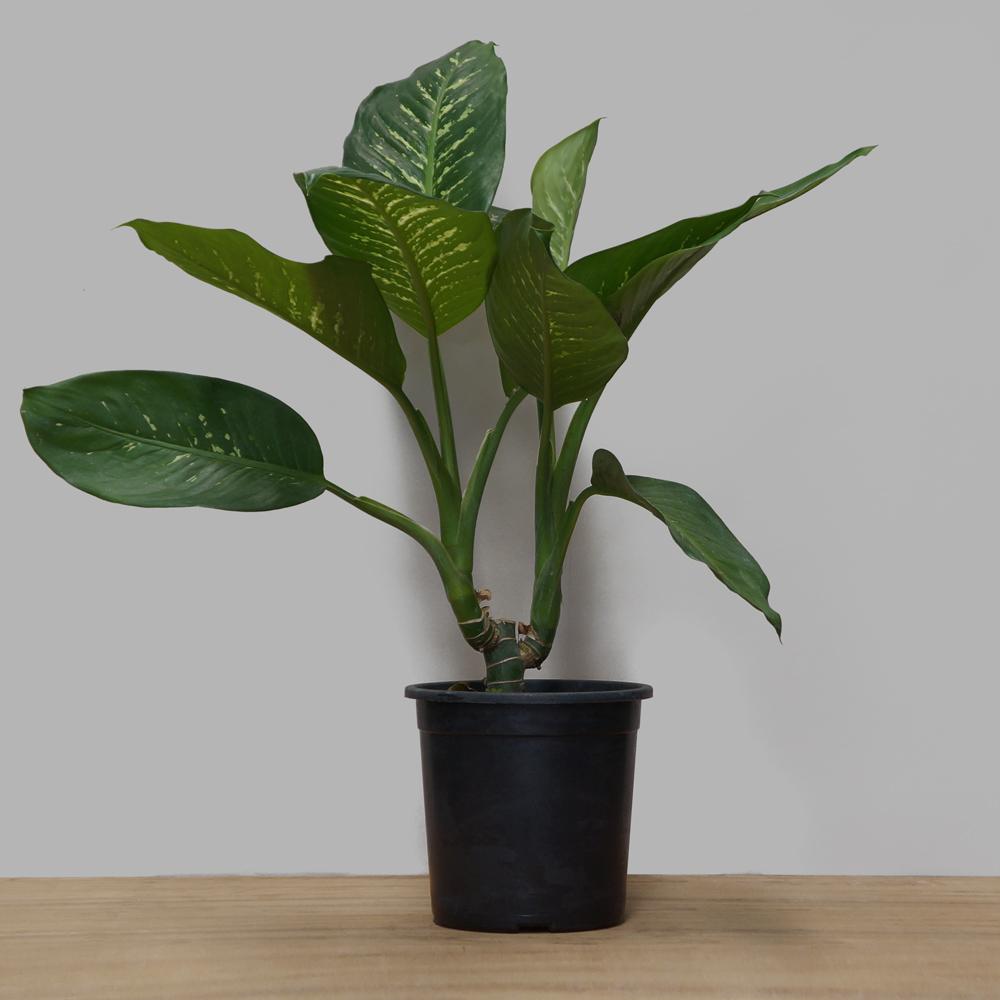Dieffenbachia Tropic (Comigo Ninguém Pode) PT 24