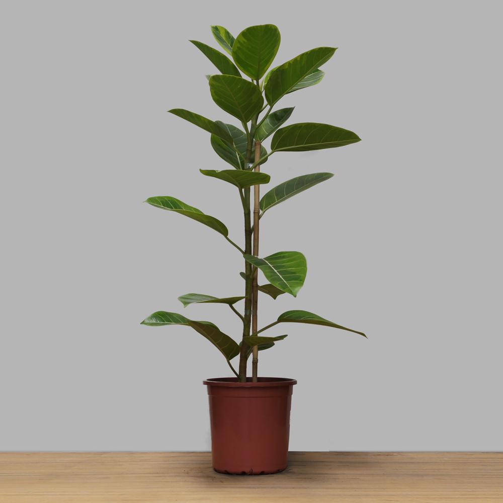 Ficus Elastica Altissima PT 24