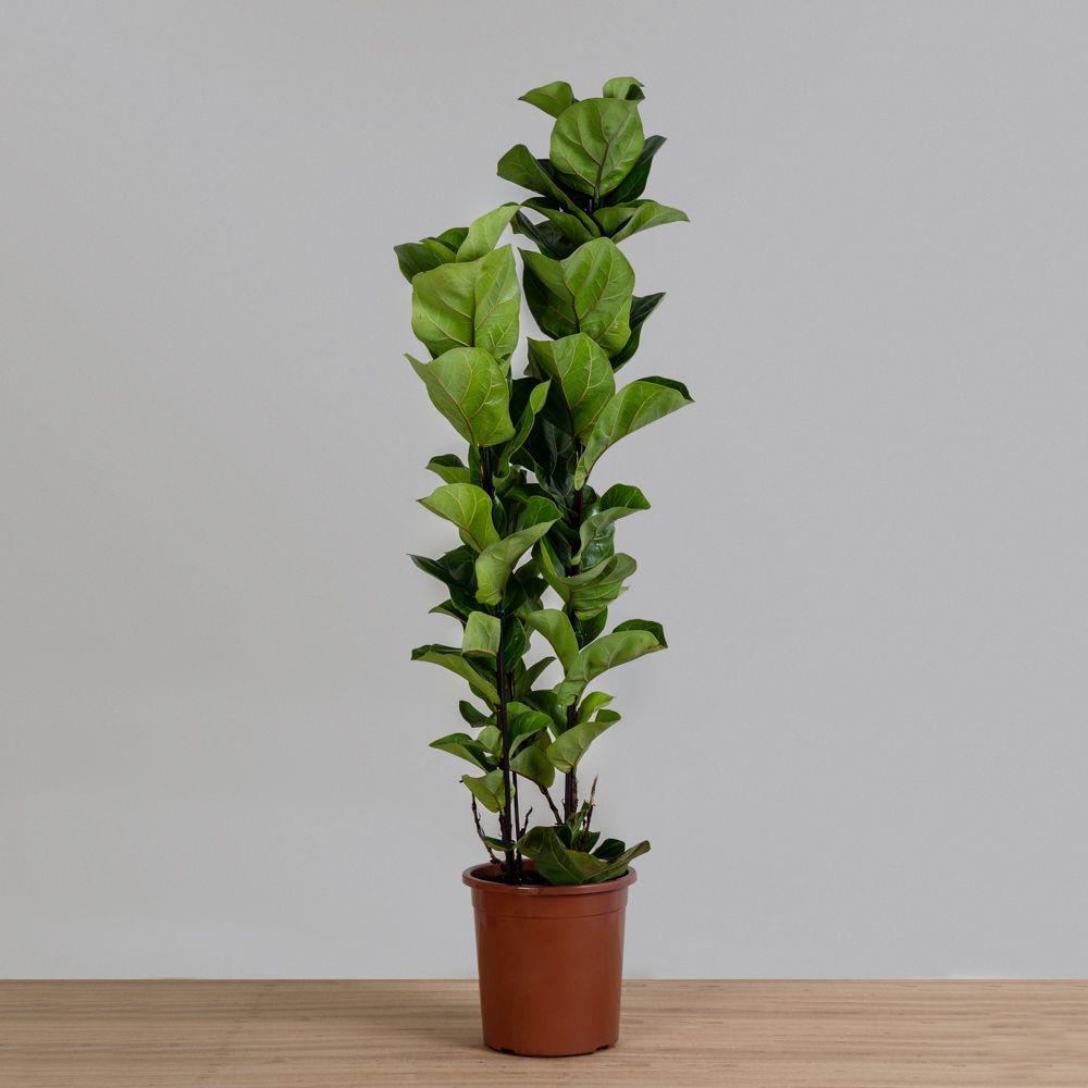 Ficus Lyrata Bambino - 3 Hastes
