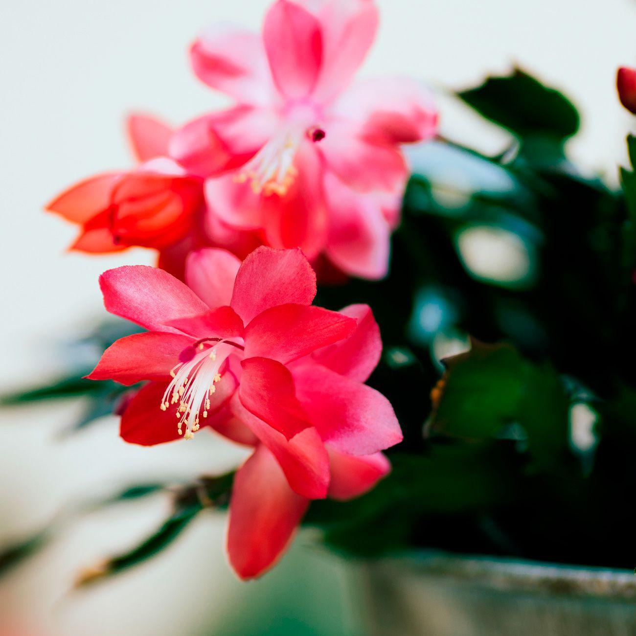 Flor de Maio PT 15