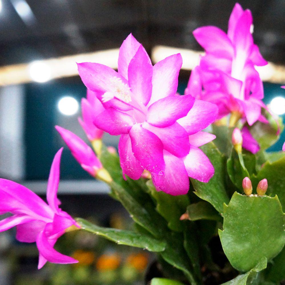 Flor de Maio PT 11