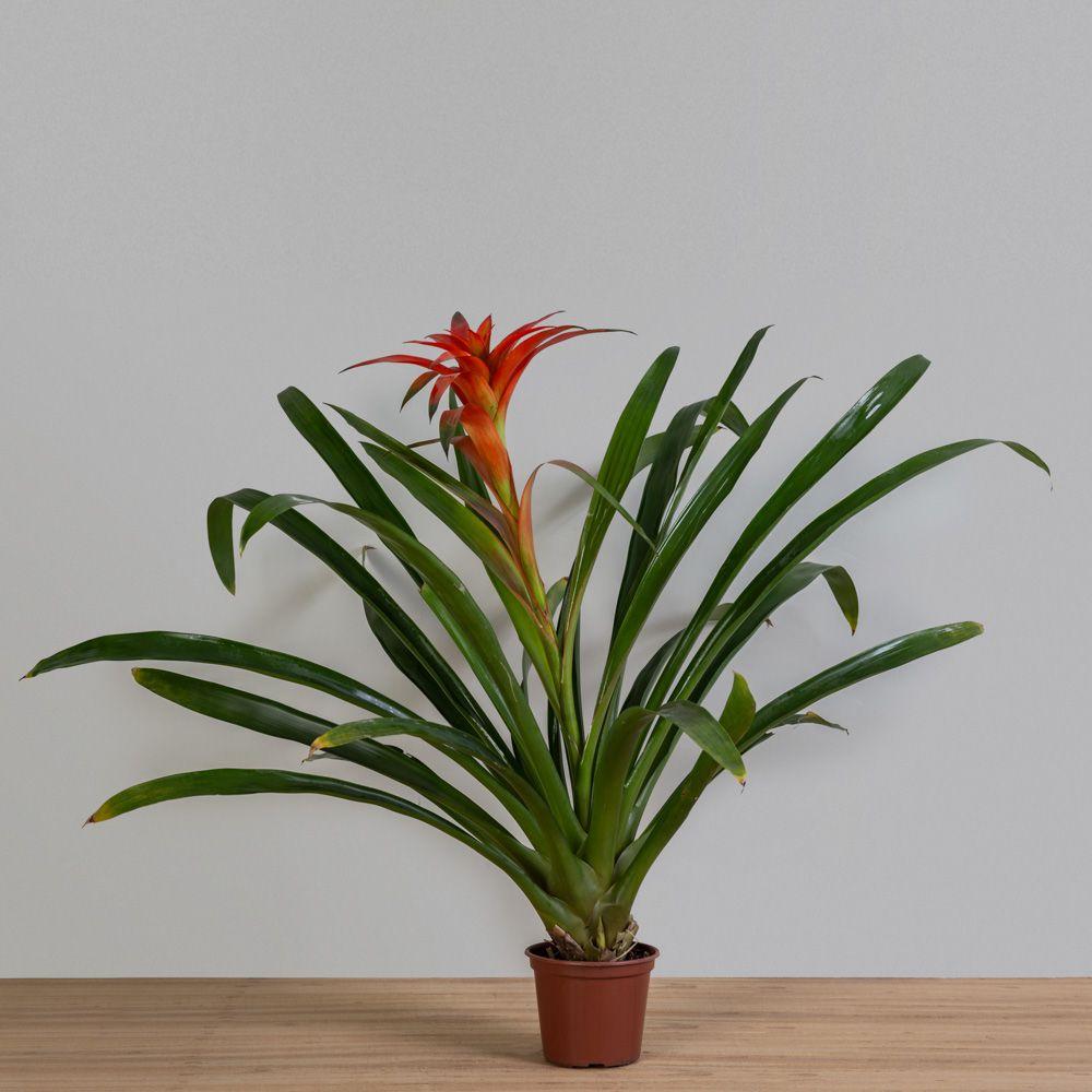 Bromelia Guzmania variada PT 14