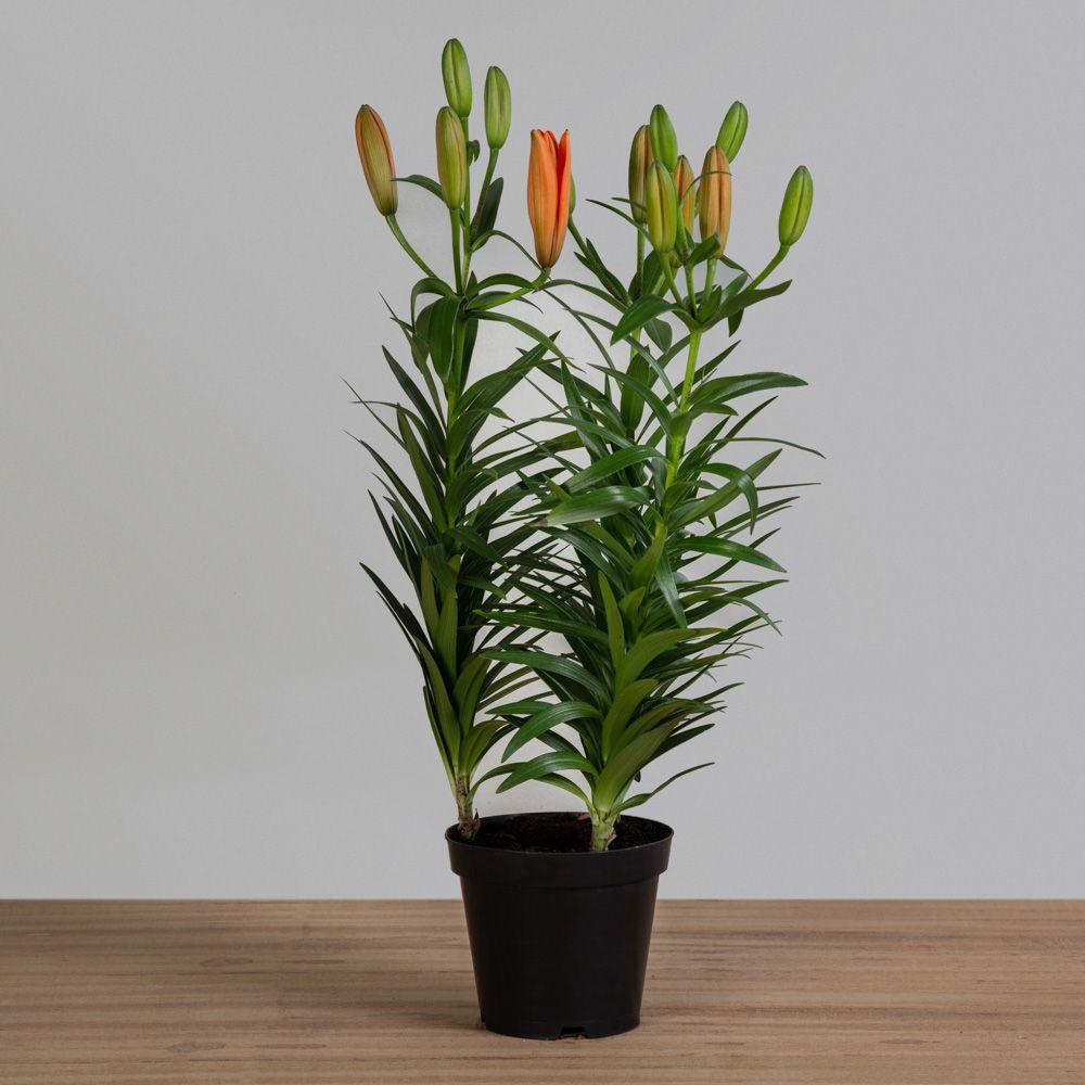 Lírio laranja PT 14