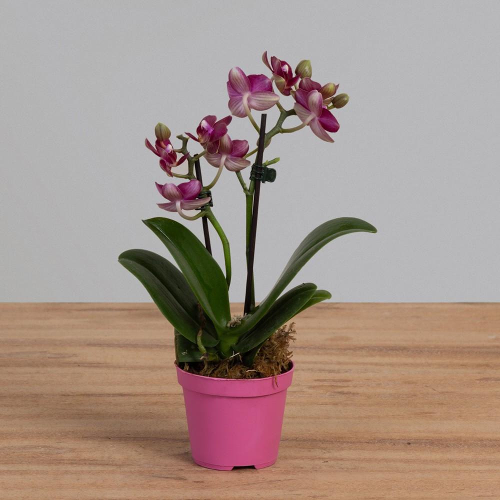Mini Orquídea Phalaenopsis 2 Hastes PT 09