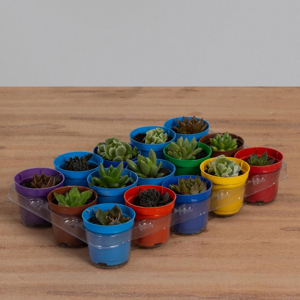 Mini Suculenta Variadas PT 06 (15 Vasos)