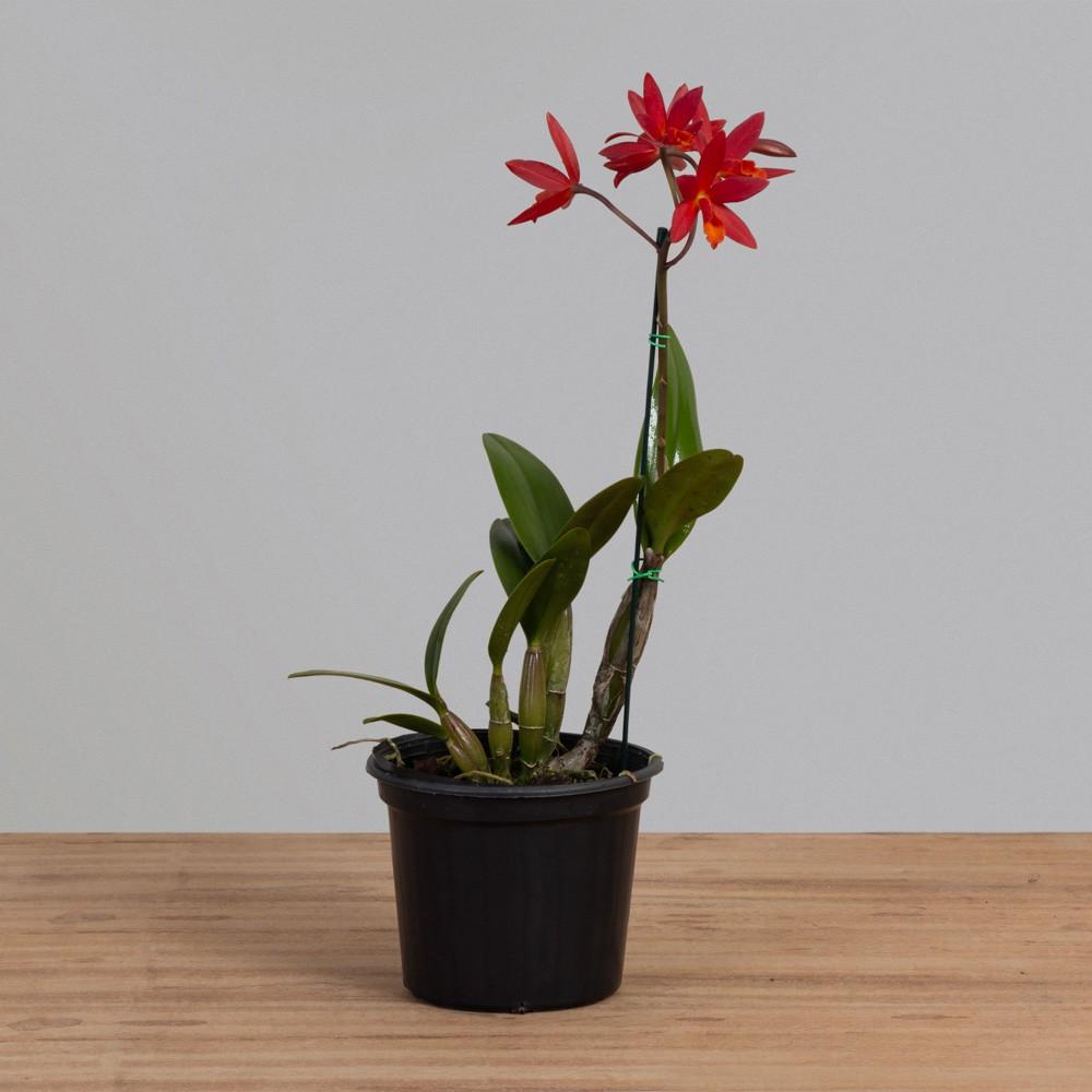 Orquídea Cathilea PT 15