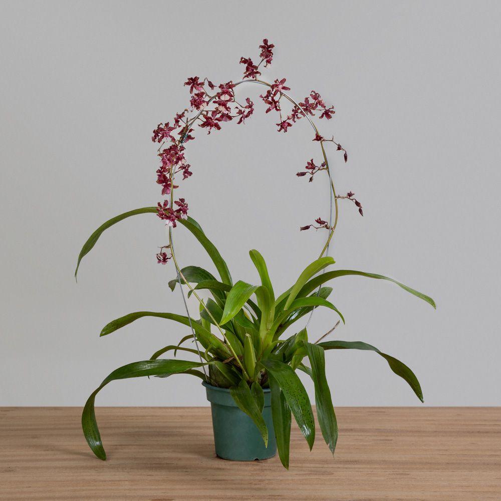 Orquídea Cherry Baby Chocolate PT 12