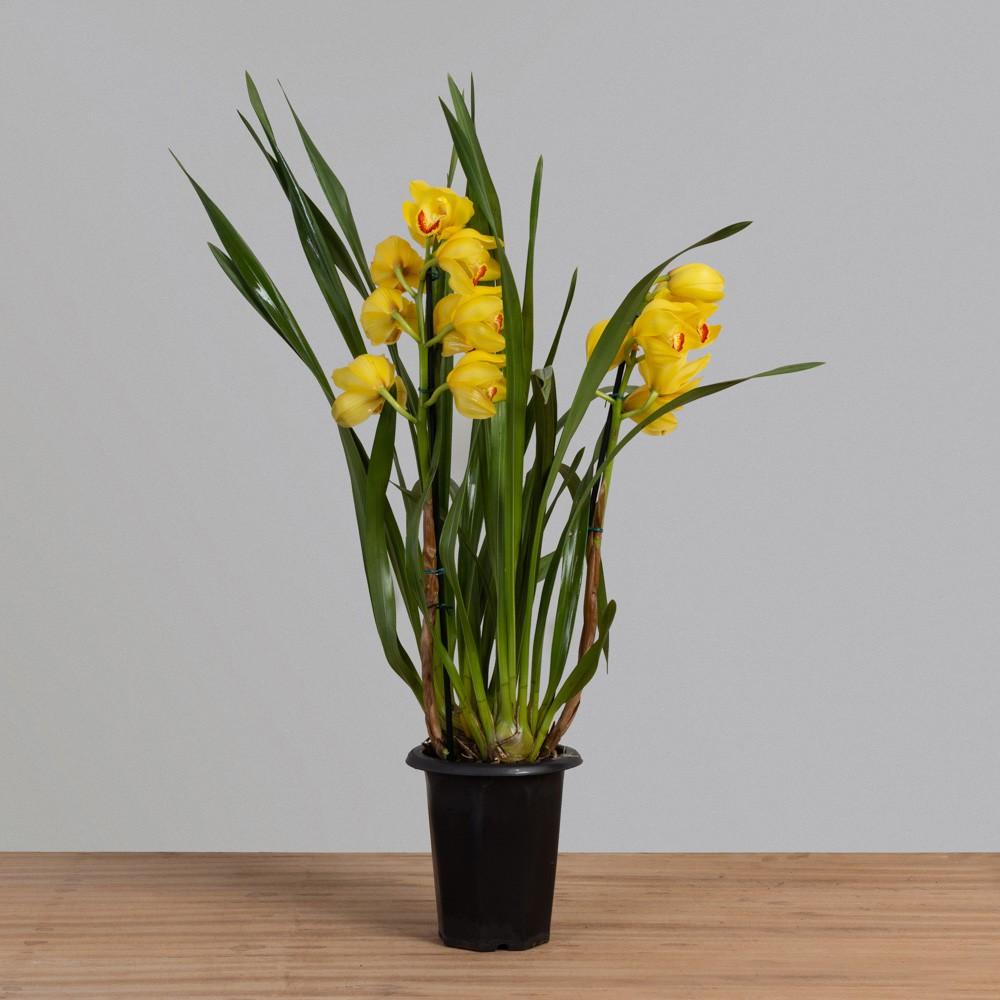 Orquídea Cymbidium 2 Hastes PT18