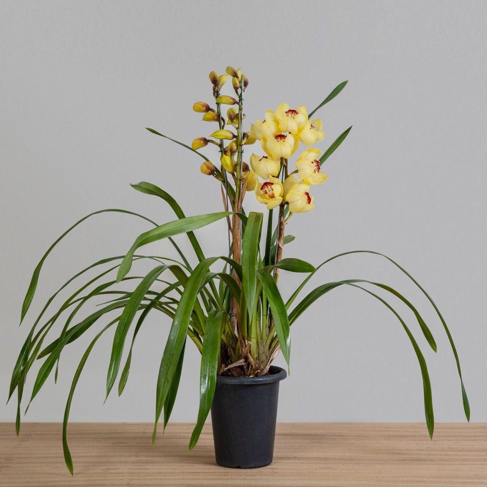 Orquídea Cymbidium 1 haste PT 15