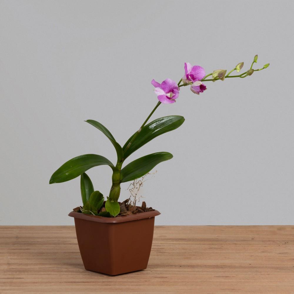 Orquídea Denphales 01 Haste PT12