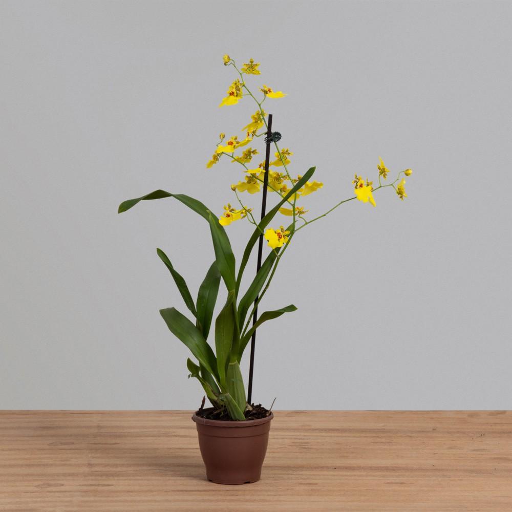 Orquídea Oncidium Chuva de Ouro PT 15