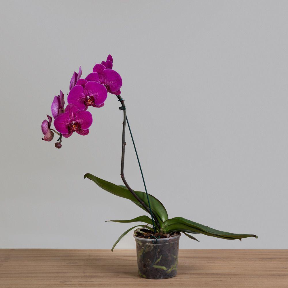 Orquídea Phalaenopsis Cascata c/ 01 Haste PT 15