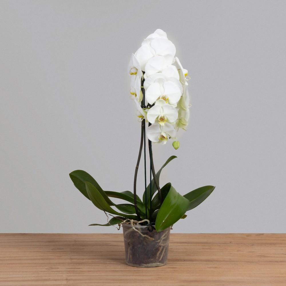 Orquídea Phalaenopsis Cascata c/ 02 Hastes PT 15
