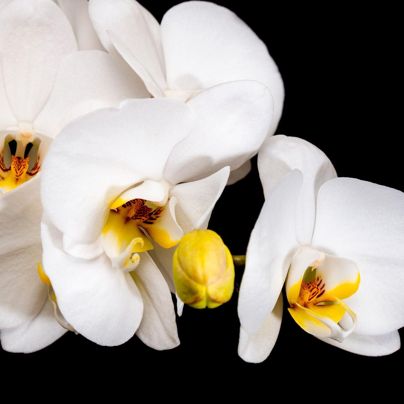 Orquídea Phalaenopsis PT15 c/ 01 Haste