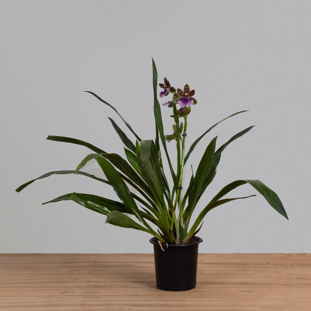 Orquídea Zygopetalum PT18