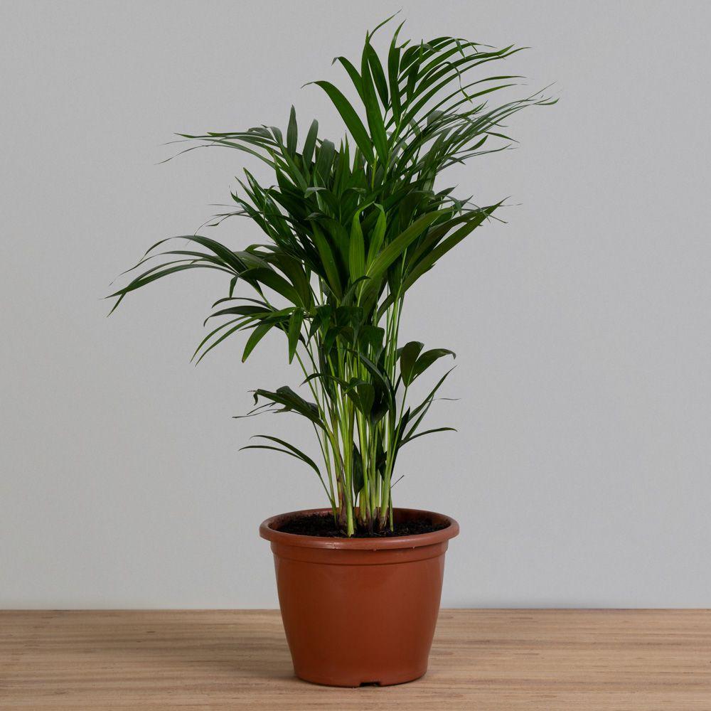 Palmeira Areca Bambu PT 24