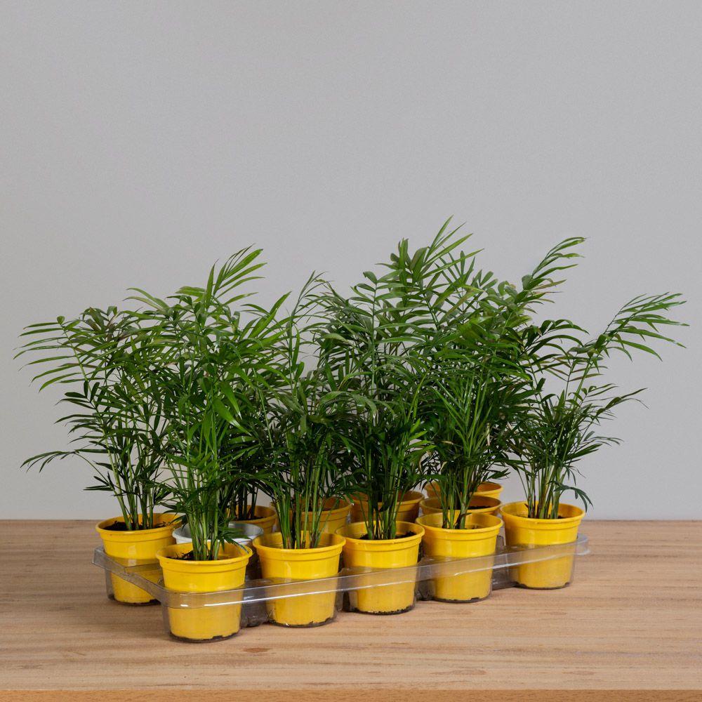 Palmeira Chamaedorea Elegans PT 11 (12 Vasos)